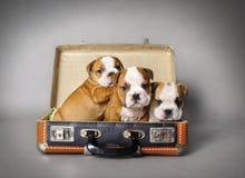 Bulldoggenwelpe Stockbild