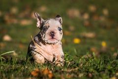 Bulldoggenwelpenbetrieb Lizenzfreie Stockbilder