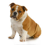 Bulldoggewelpe Stockfoto