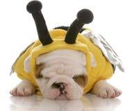 Bulldoggewelpe gekleidet herauf als Biene Lizenzfreies Stockfoto