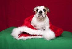 Bulldoggewelpe Weihnachtsportrait Stockfotografie
