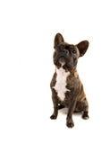 bulldoggfransman fotografering för bildbyråer