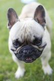 bulldoggfransman Royaltyfri Foto