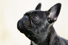 bulldoggfransman Royaltyfria Bilder