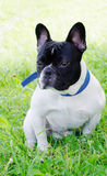 bulldoggfransman royaltyfri bild
