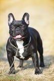 bulldoggfransman Royaltyfria Foton