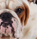 bulldoggmakro fotografering för bildbyråer