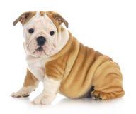 Bulldoggvalp Fotografering för Bildbyråer