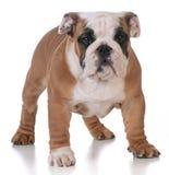 Bulldoggvalp Royaltyfria Bilder