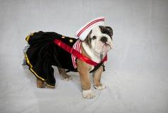 Bulldoggvalp i sjömandräkt royaltyfri bild