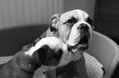 Bulldoggvalpar Arkivbilder