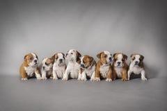 Bulldoggvalpar Arkivbild
