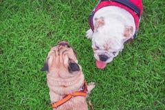 Bulldoggvalpar som överst spelar med sikt för hundmops Arkivbild