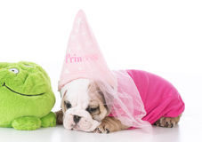 Bulldoggvalpprinsessa royaltyfria bilder