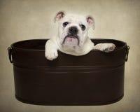 Bulldoggvalpstående arkivfoto