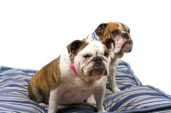 bulldogs Obraz Royalty Free