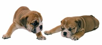 Bulldogs. Puppies of the English bulldog on a white background Royalty Free Stock Photo
