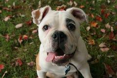 bulldogs anglików Obrazy Royalty Free