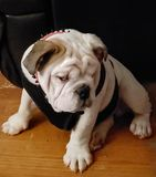 Bulldogs. Being royalty free stock photo