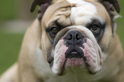 Bulldogs Royalty Free Stock Image