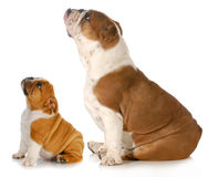 Bulldogs looking up Stock Photos