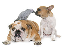 Bulldogs and parrot Royalty Free Stock Photo