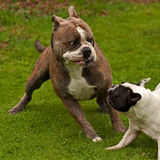 Bulldogs plying. Old English bulldog and French bulldog playing Stock Image