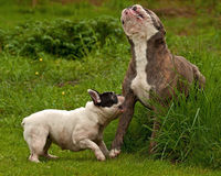 Bulldogs plying. Old English bulldog and French bulldog playing Stock Photos