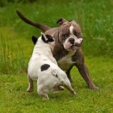 Bulldogs plying. Old English bulldog and French bulldog playing Royalty Free Stock Photography