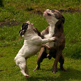 Bulldogs plying. Old English bulldog and French bulldog playing Royalty Free Stock Image
