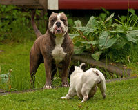 Bulldogs plying Royalty Free Stock Image