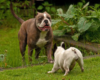 Bulldogs plying. Old English bulldog and French bulldog playing Royalty Free Stock Photos