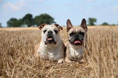 Bulldogs portrait. Two bulldogs lying on the stubble field stock images