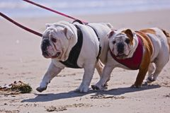 Bulldogs. Two wrinkle faced Bulldogs taking a walk along the beach stock photography