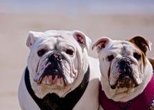 Bulldogs. Wrinkled face Bulldogs on the beach stock photography