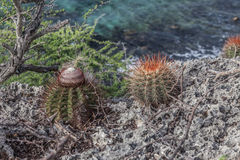 Bullenbaai Coast cacti Royalty Free Stock Photos