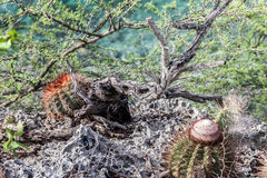 Bullenbaai Coast cacti Stock Photos