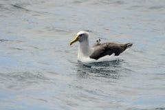 Buller's Albatross. Buller's Albatros in water Royalty Free Stock Image