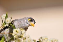 bullersam fågelgruvarbetare fotografering för bildbyråer