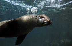 Bulles de soufflement d'otarie de Galapagos sous-marines Images stock