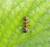Bullet ant in the Jungle of amazonas river.  Royalty Free Stock Photography