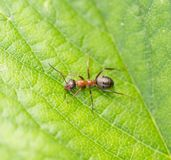 Bullet ant in the Jungle of amazonas river.  Royalty Free Stock Photo