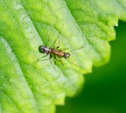 Bullet ant in the Jungle of amazonas river.  Stock Images