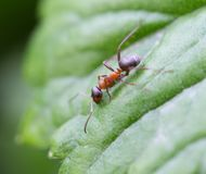 Bullet ant in the Jungle of amazonas river.  Royalty Free Stock Photos