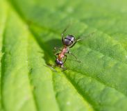 Bullet ant in the Jungle of amazonas river.  Royalty Free Stock Image