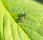 Bullet ant in the Jungle of amazonas river.  Stock Photography