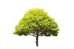 Bullet wood tree on white background Royalty Free Stock Photo