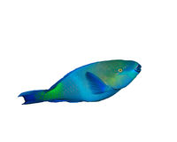 Bullethead Parrotfish. Bulletheaded Parrotfish isolated on white background Stock Photography