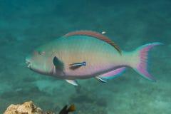 Bullethead parrotfish (Chlorurus sordidus) Stock Image