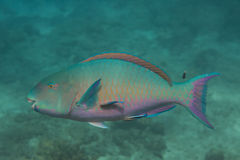 Bullethead parrotfish (Chlorurus sordidus) Stock Photography